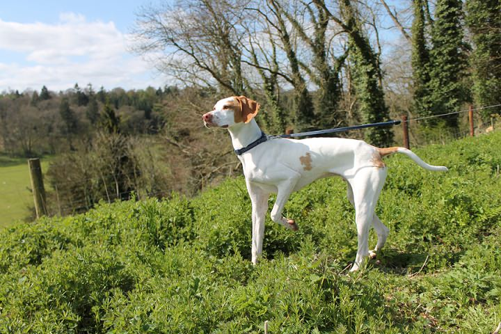 1 White English Pointer