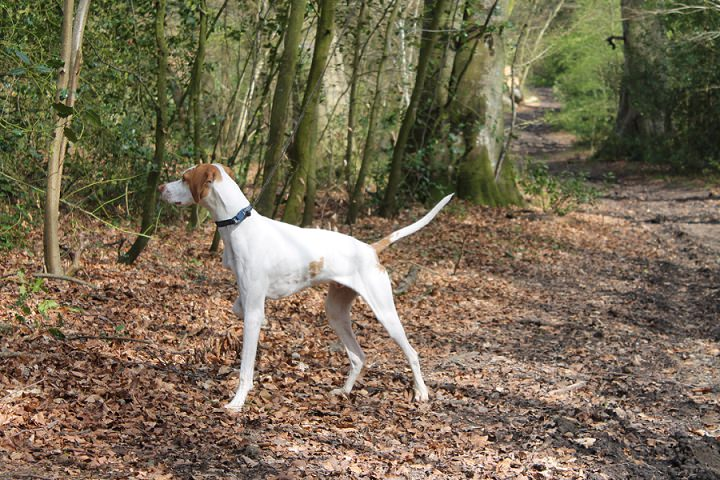 7 White English Pointer