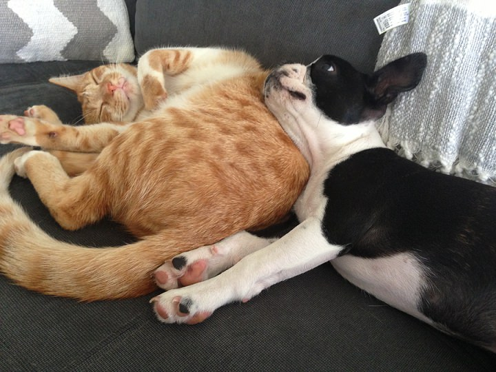 boston terrier and cats real pets ginger cat and boston terrier 276
