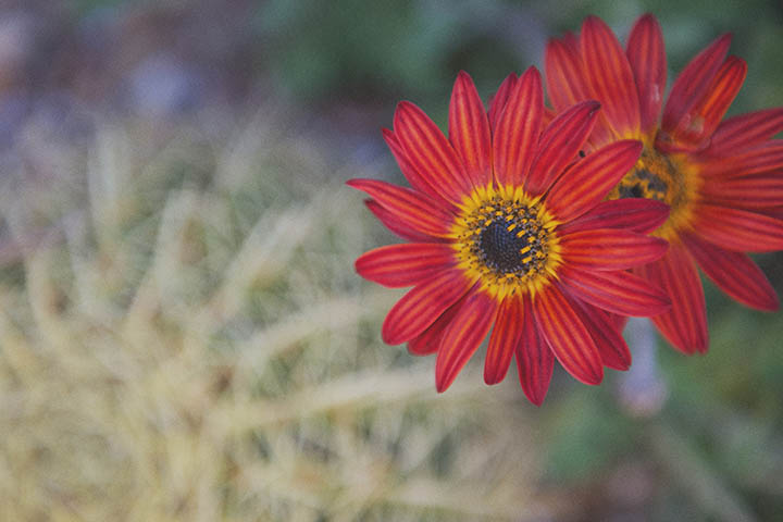 The Barcelona Cactus Garden. Mossèn Costa Montjuic by Rebecca Douglas Photography 21